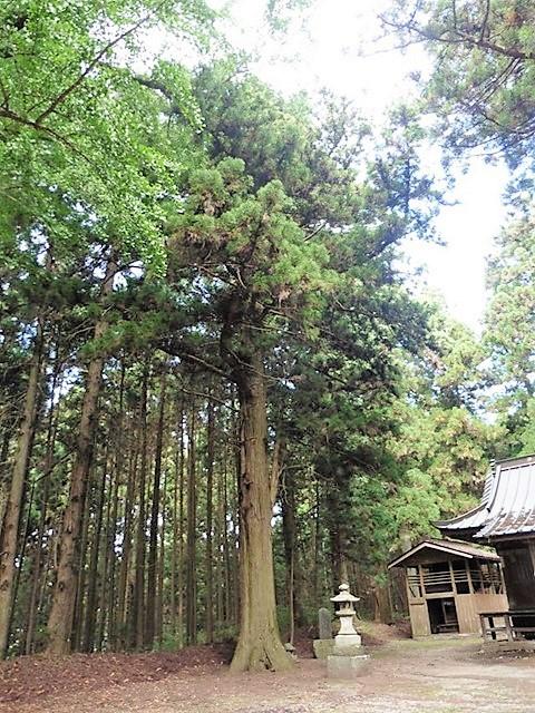 中山神社の大杉