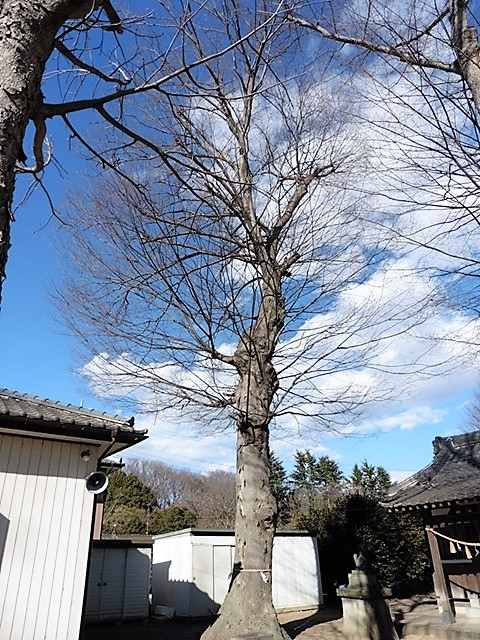 伊勢島神社の大ケヤキ