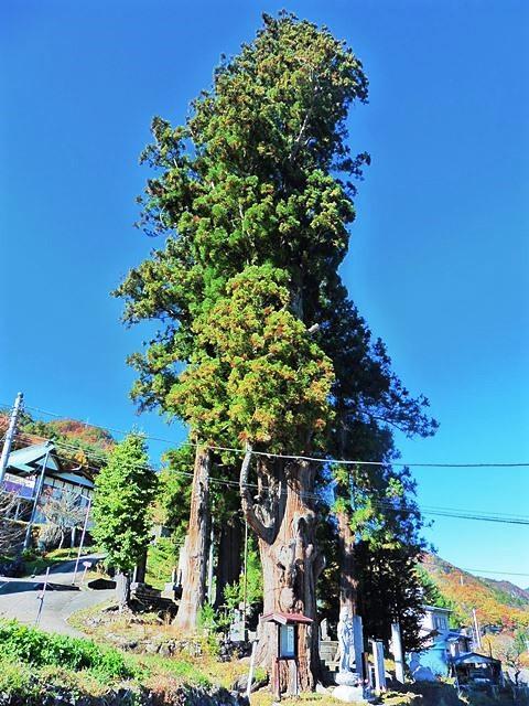 龍沢寺の妙全杉