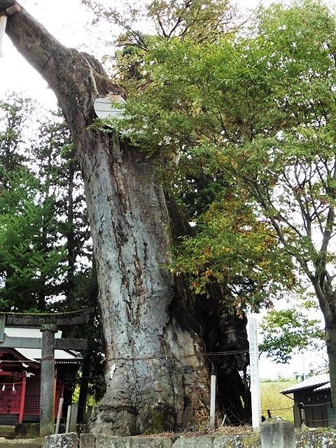 川田神社の大ケヤキ