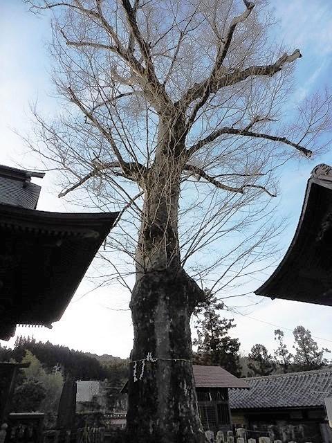 下仁田諏訪神社の大ケヤキ
