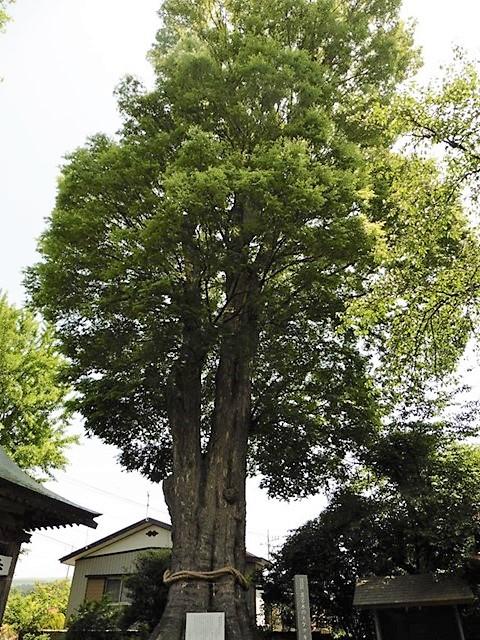 溝呂木の大ケヤキ