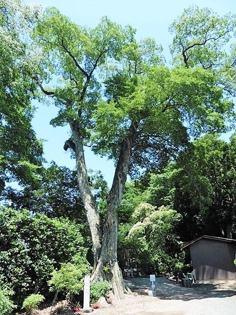 仁叟寺の椋の木