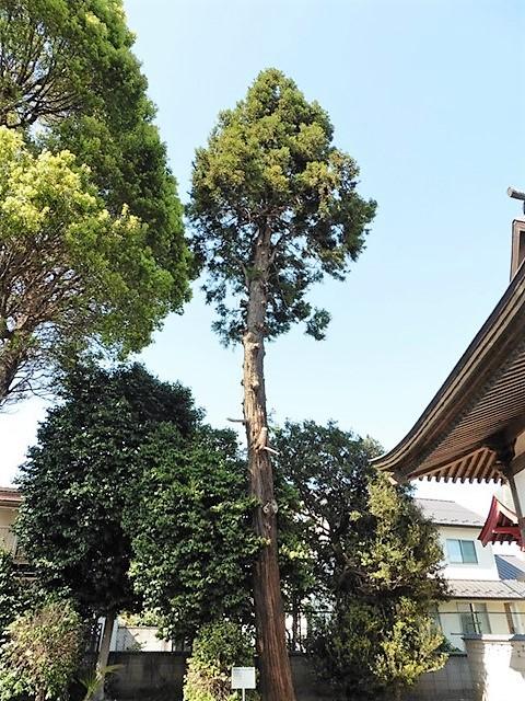 朝倉飯玉神社の大杉