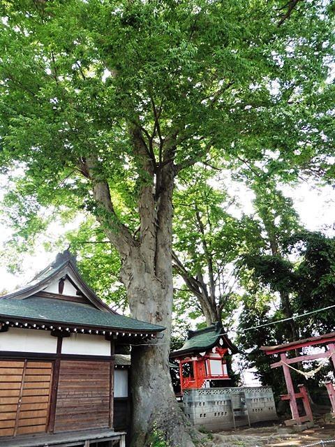 前橋春日神社の大ケヤキ