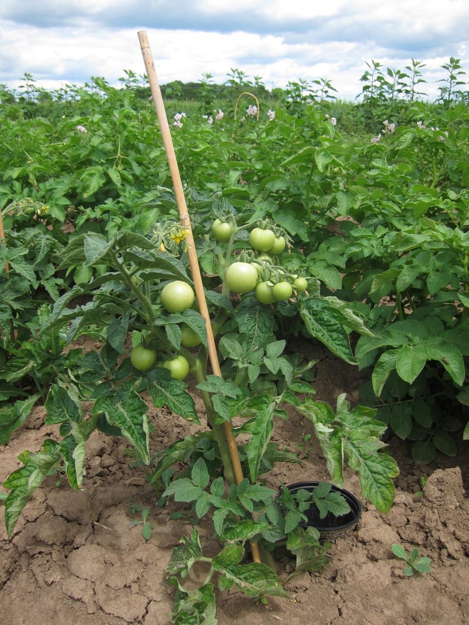 Tomaten, die nicht ausgegeizt werden müssen, waren besonders beliebt bei den Protest-Gärtnern.