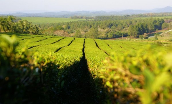 Empresa misionera busca abrir mercados de Asia y Europa para el té argentino