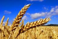 Das Korn steht reif und voll: die beste Zeit, sich sein eigenes Brot zu backen. So isst man enorm viel Nährstoffe mit, die beim industriellen Backen verloren gehen.  Foto: Teodor Ostojic/PhotoXpress.com