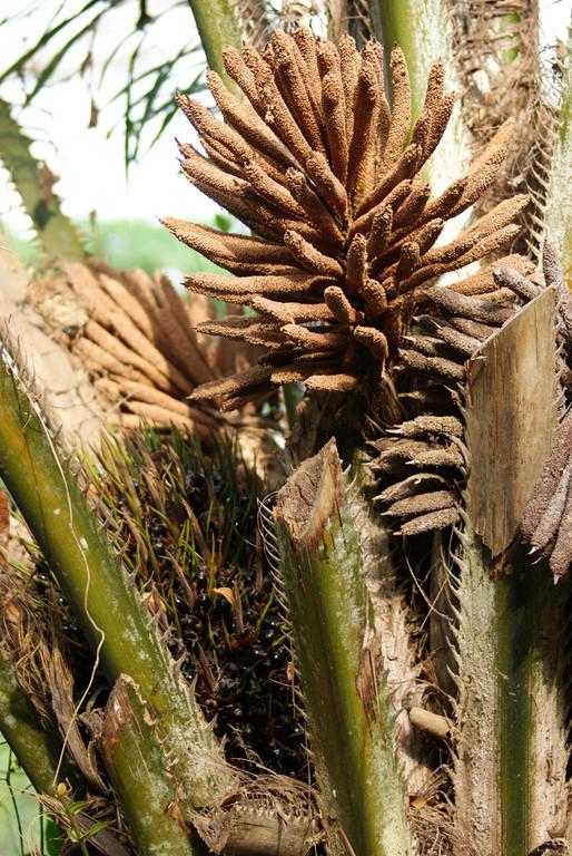 Fleurs du palmier à huile