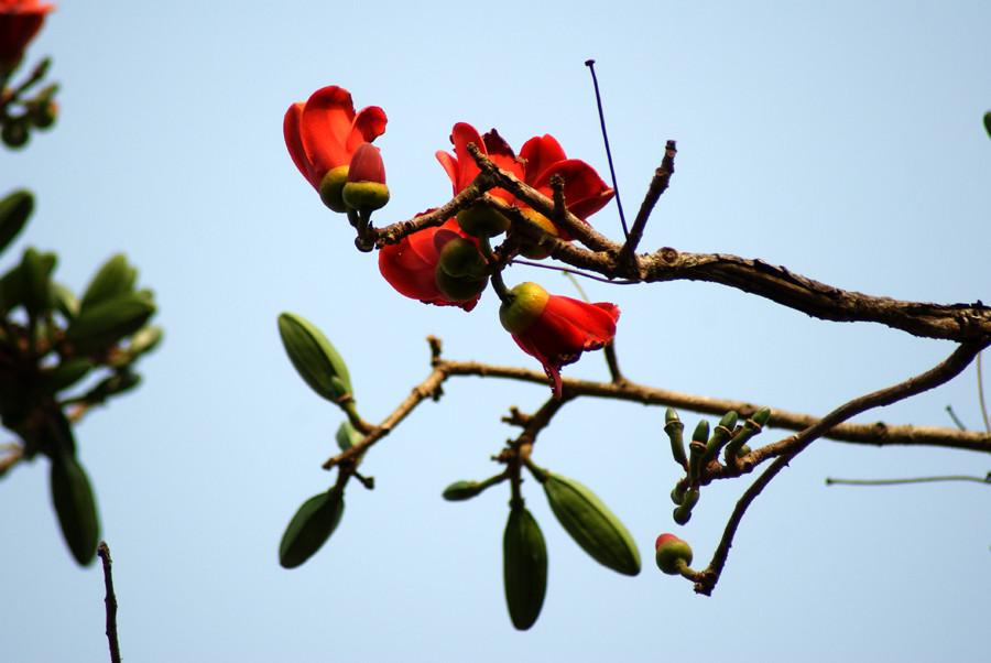 Fleurs de Kapokier
