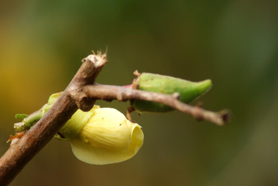Fleur et fruit du Gombo