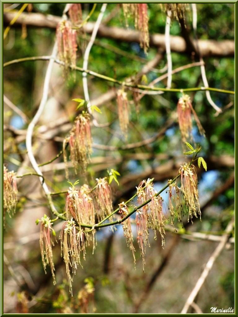 Erable Negundo en fleurs et feuilles en début de pousse, flore Bassin d'Arcachon (33)