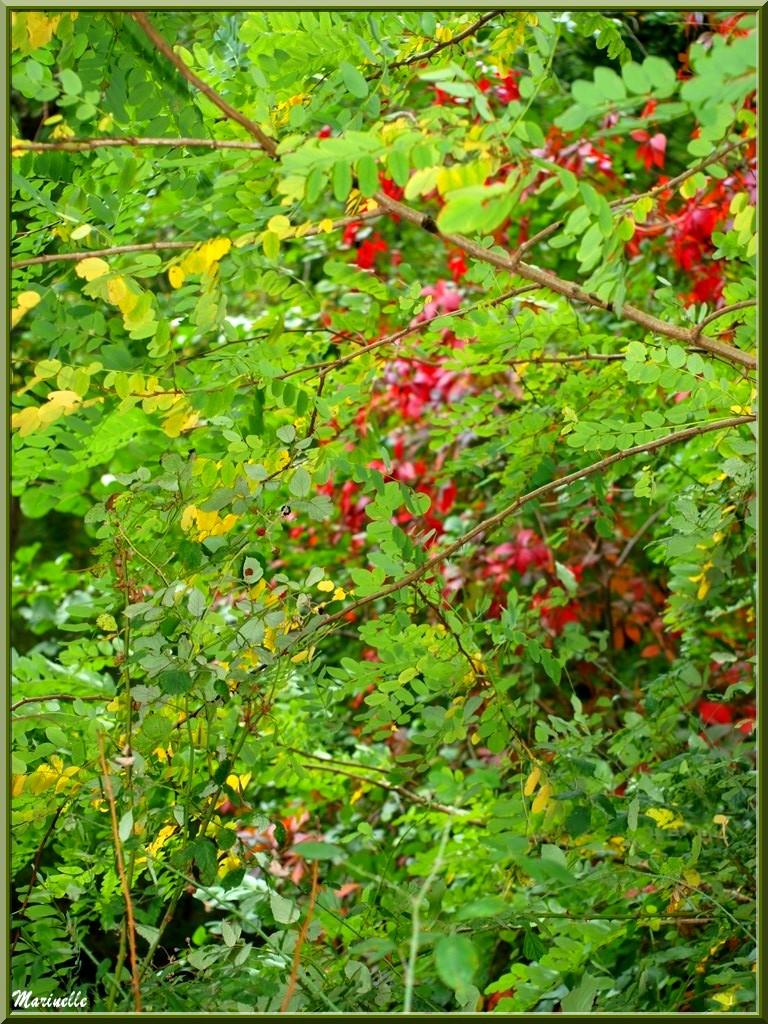 Acacia en tenue début d'automne sur fond de Vigne Rouge, sur le sentier bordant La Leyre, Sentier du Littoral au lieu-dit Lamothe, Le Teich, Bassin d'Arcachon (33)