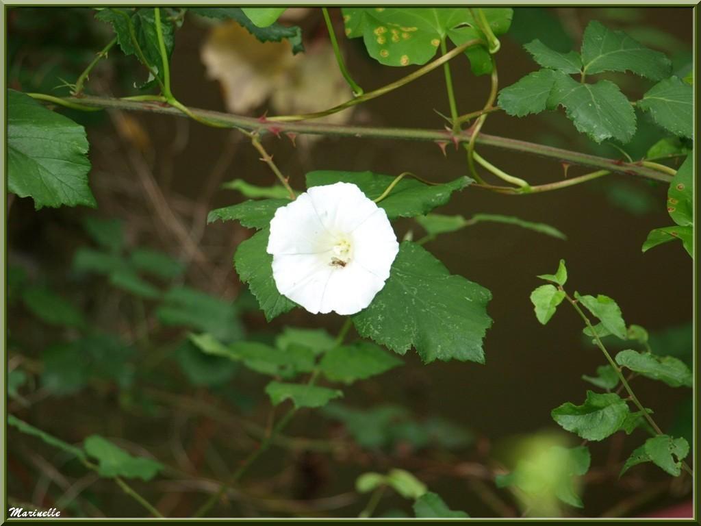 Liseron en fleur, flore Bassin d'Arcachon (33)