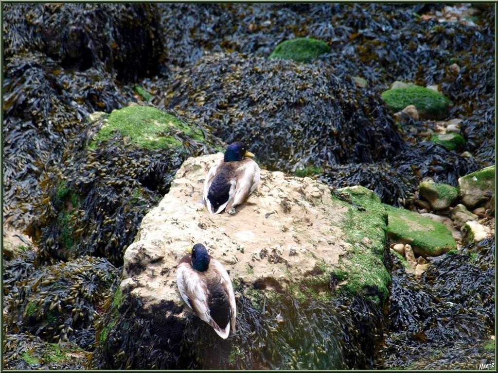 Canards Colvert faisant la sieste sur une roche entourée de goémons à Talmont-sur-Gironde (Charente-Maritime), en bordure de La Gironde
