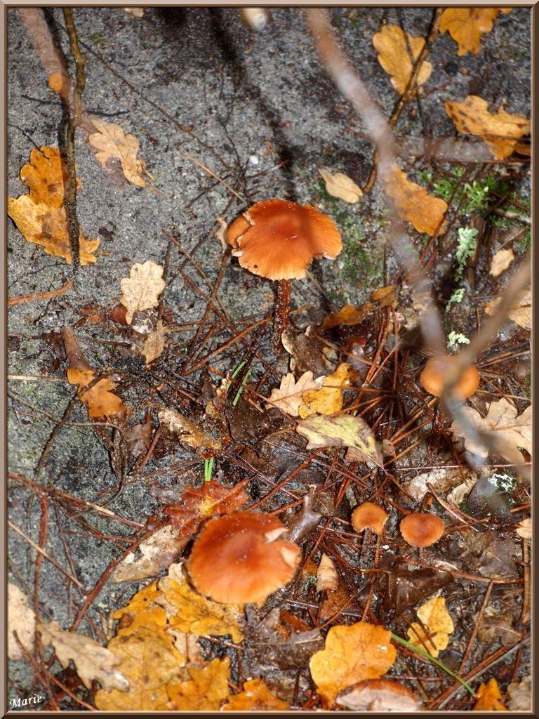 Laccaires Laqués en famille en forêt sur le Bassin d'Arcachon