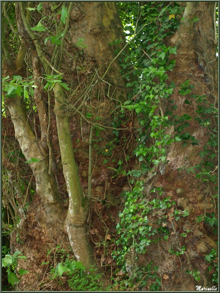 Végétation ancestrale sur le Trieux, Pontieux, Côte d'Armor (22)