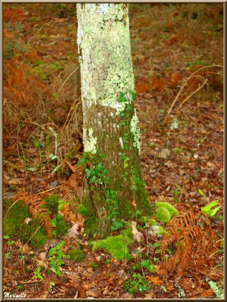 Méli mélo forestier automnal : fougères, mousse, feuilles de chêne, lierre et tronc d'arbre, forêt sur le Bassin d'Arcachon (33)