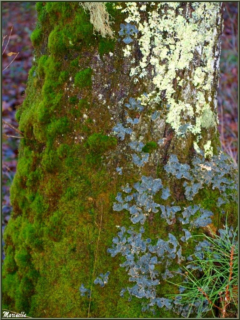 Méli mélo forestier automnal : tronc d'arbre recouvert de différentes mousses, forêt sur le Bassin d'Arcachon (33)