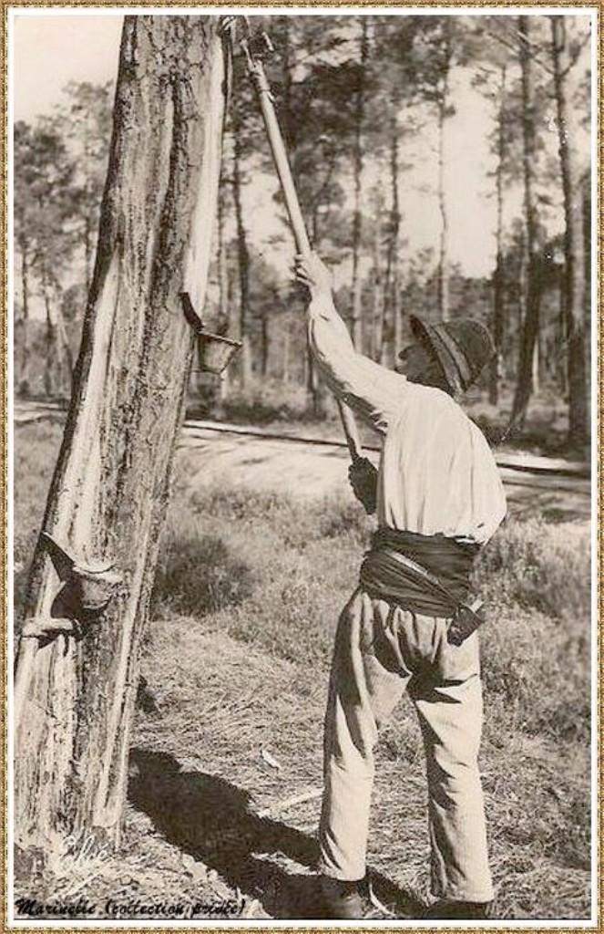 Gujan-Mestras autrefois : Résinier au travail, Bassin d'Arcachon (carte postale, collection privée)