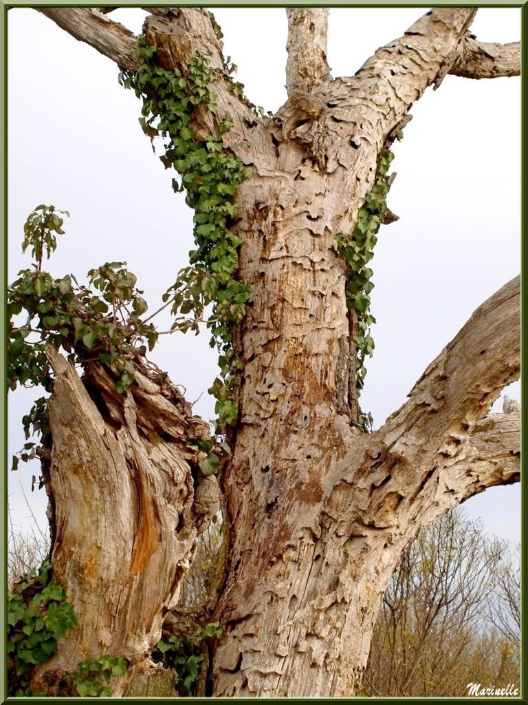 Vieux Chêne mort envahi de lierre, flore Bassin d'Arcachon (33)