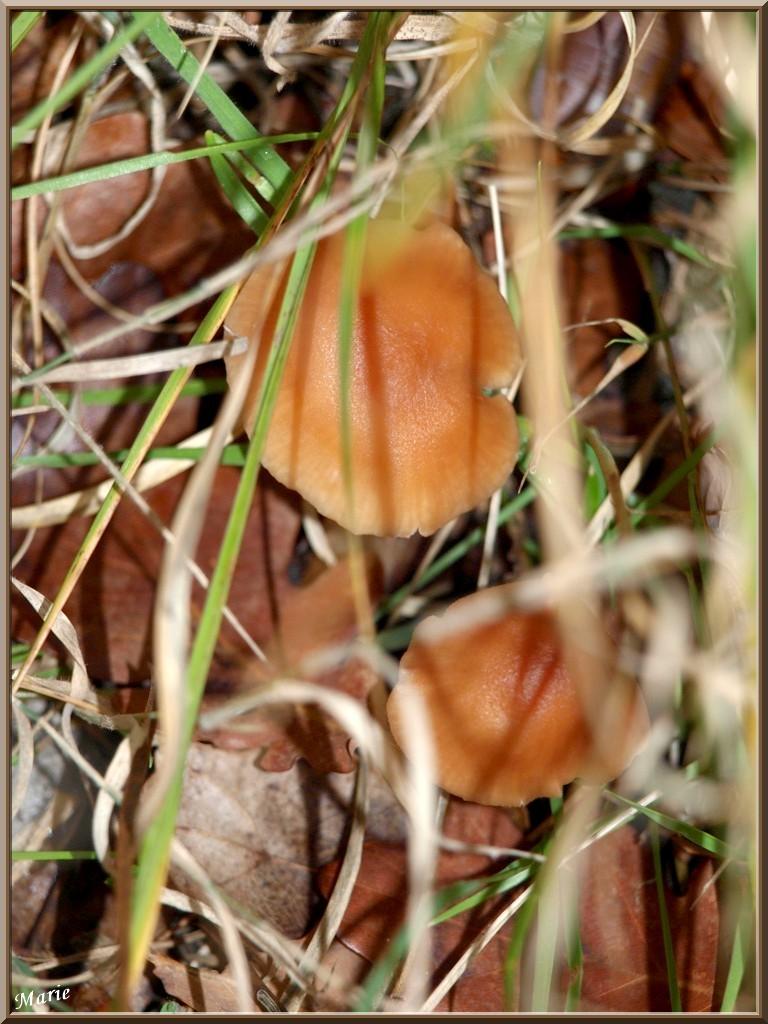 Laccaires Laqués en couple caché en forêt sur le Bassin d'Arcachon