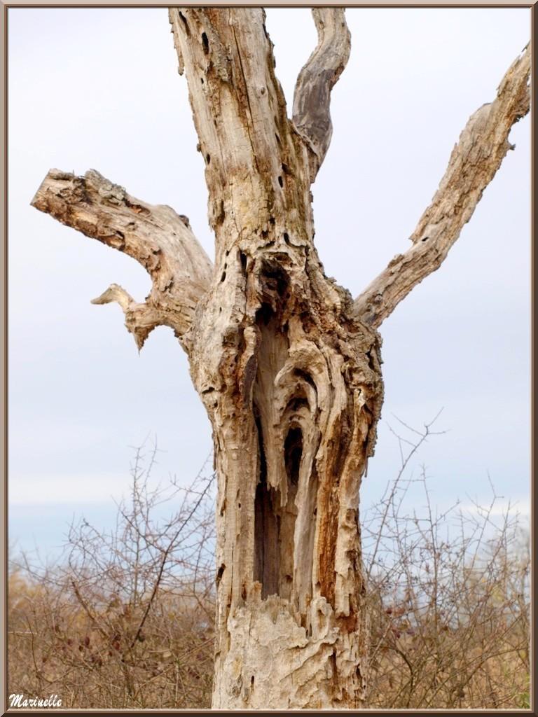 Vieux Chêne mort, flore Bassin d'Arcachon (33)