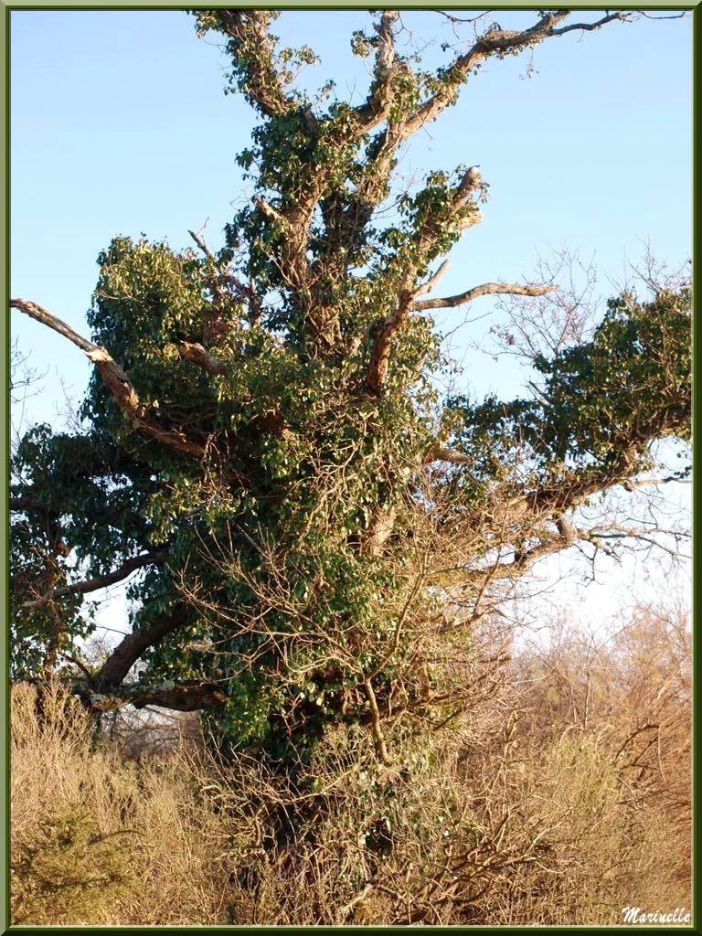 Chêne mort enveloppé de lierre, en bordure du Sentier du Littoral, secteur Port du Teich en longeant La Leyre, Le Teich, Bassin d'Arcachon (33)