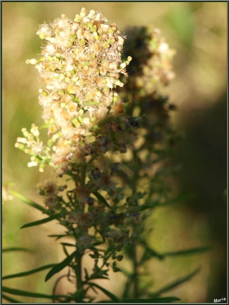 Entre ombre et soleil, Millepertuis ou Hypericum ou Chasse Diable avec ses akènes en automne, flore sur le Bassin d'Arcachon (33)