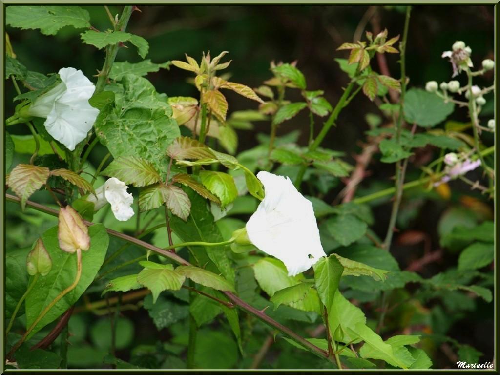 Liseron en fleurs, flore Bassin d'Arcachon (33)