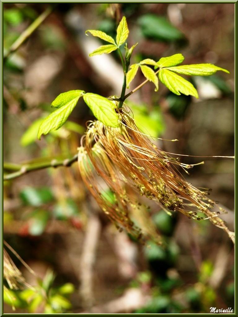 Erable Negundo avec fleurs mâles au vent et jeunes feuilles, flore Bassin d'Arcachon (33)