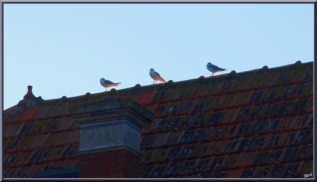 """Mouettes sur un toit à Arcachon front de mer en """"Ville de Printemps"""""""
