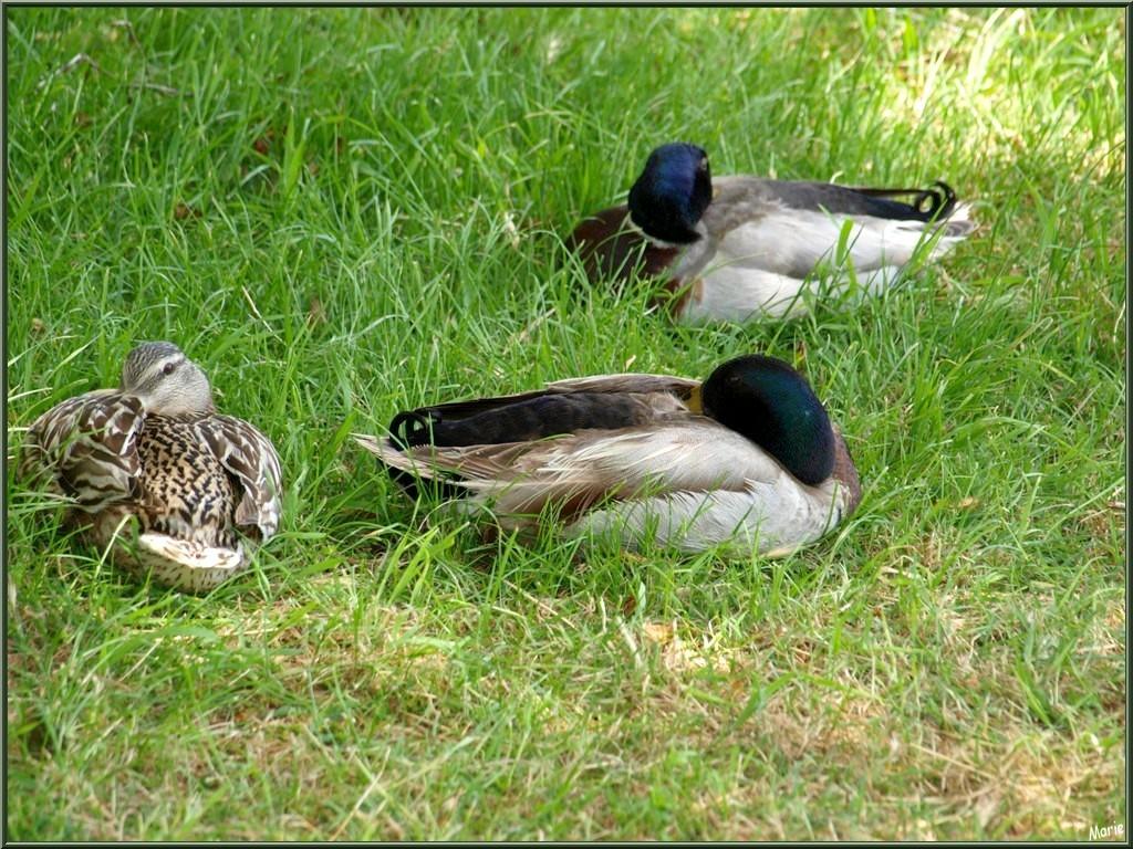 Madame et Messieurs canards Colvert faisant la sieste à Talmont-sur-Gironde (Charente-Maritime)