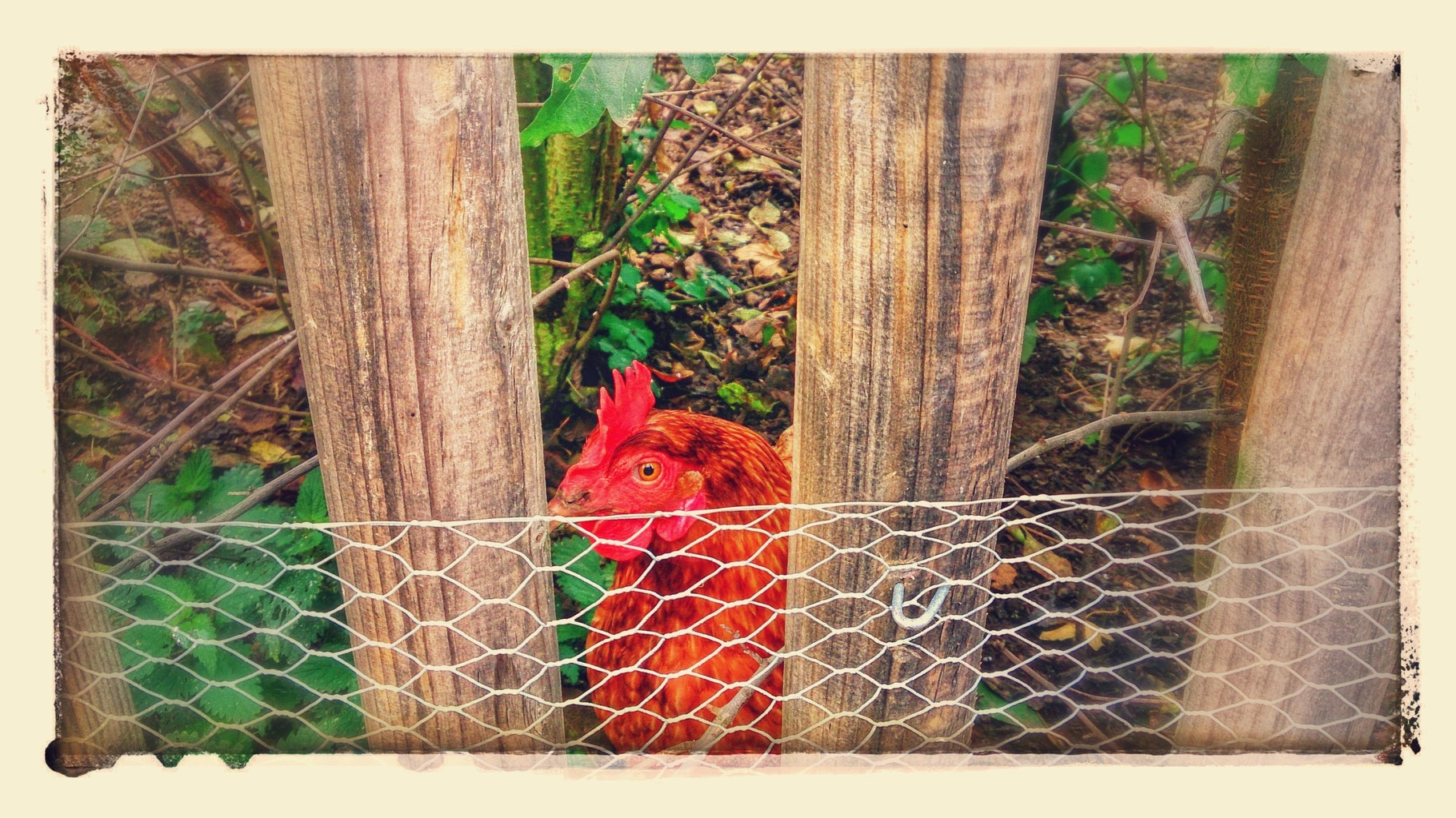 ~ Bild: Special Effects - 'Hen@Fence' ~