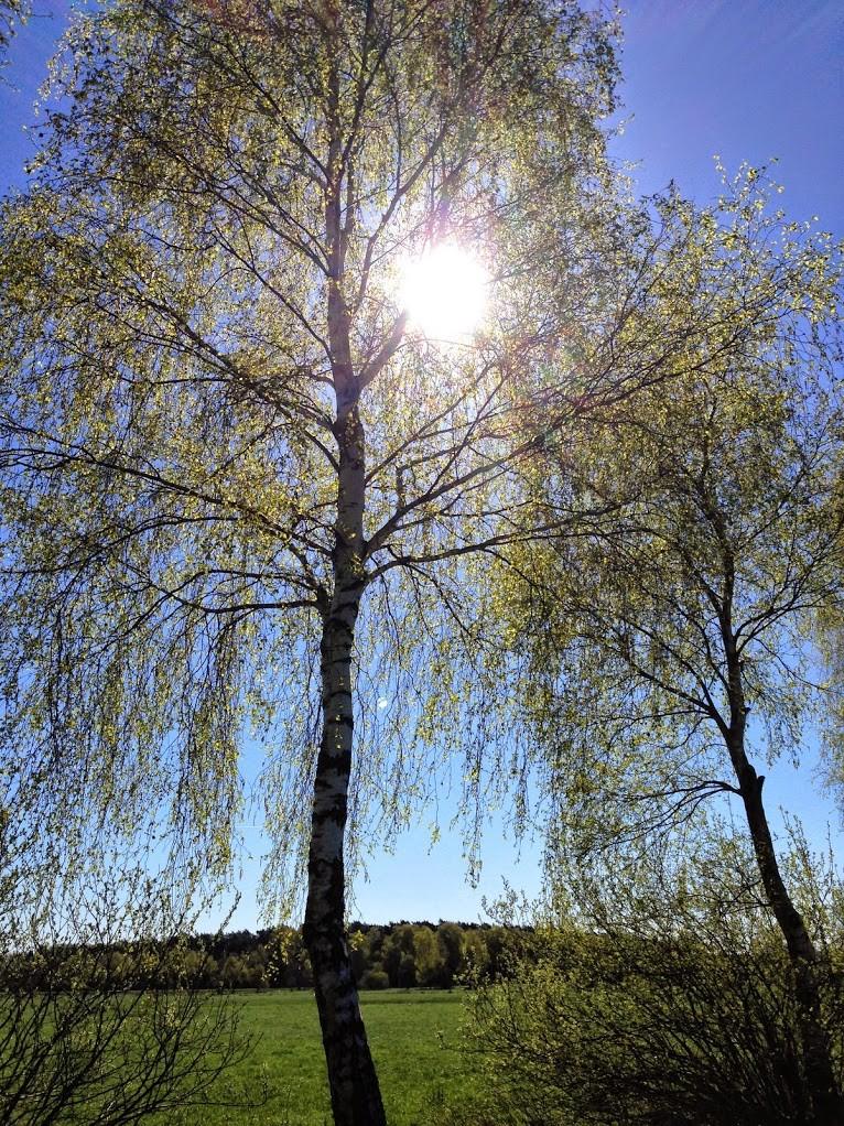 ~ Bild: Birken im Frühling ~