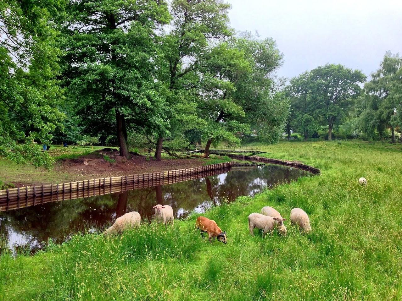 ~ Bild: Schafe in Sittensen ~
