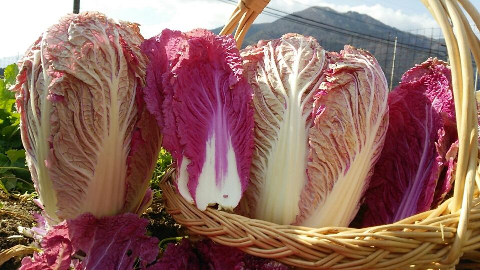紫白菜(収穫時期10月下旬~2月下旬)