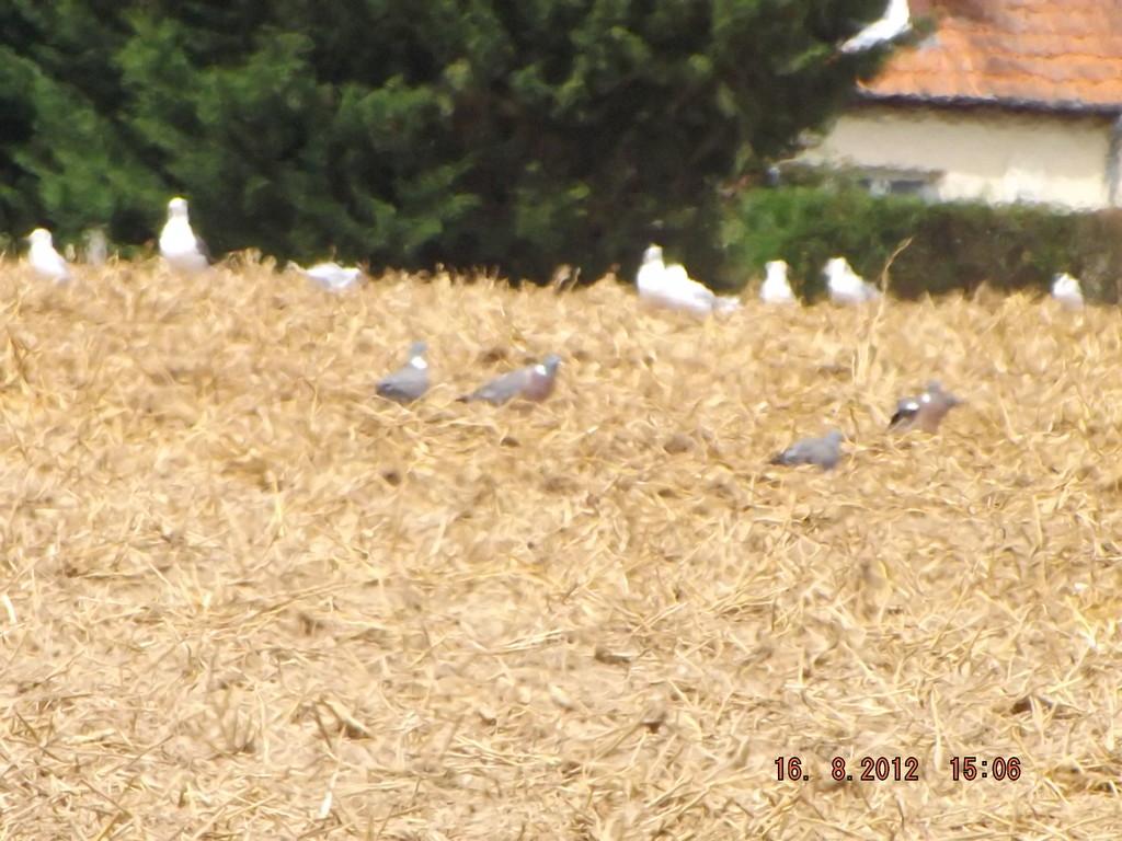 Mouettes et pigeons ramiers