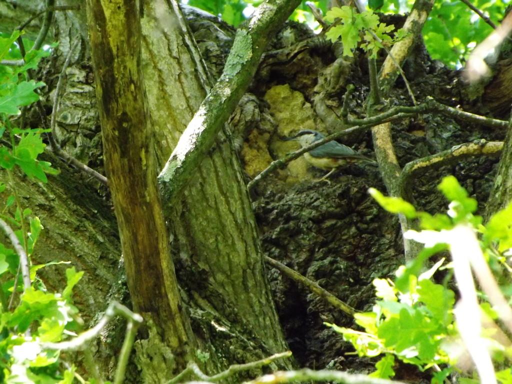 Sitelle torchepot  au nid