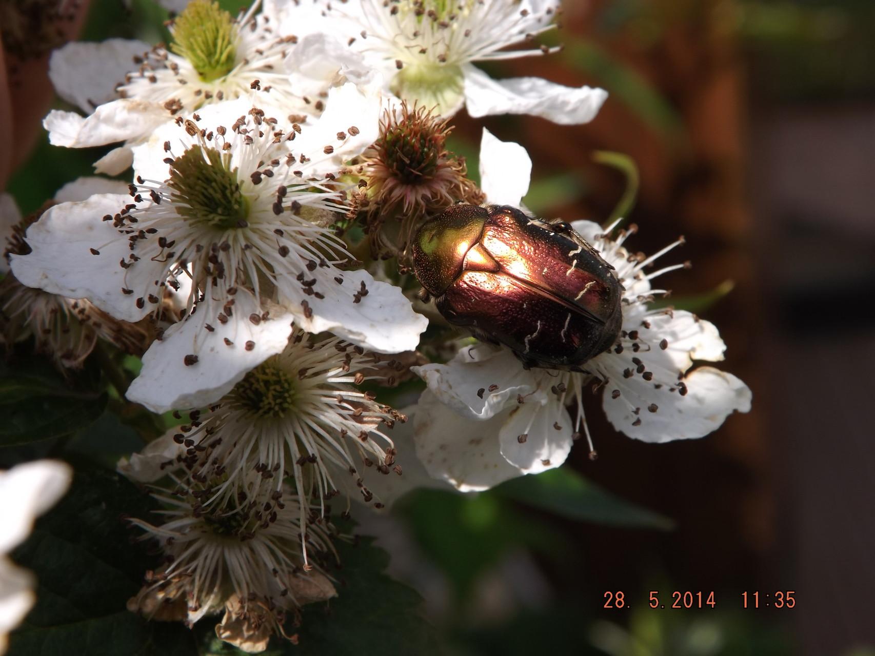 Citoine dorée sur fleurs de ronce sans épine