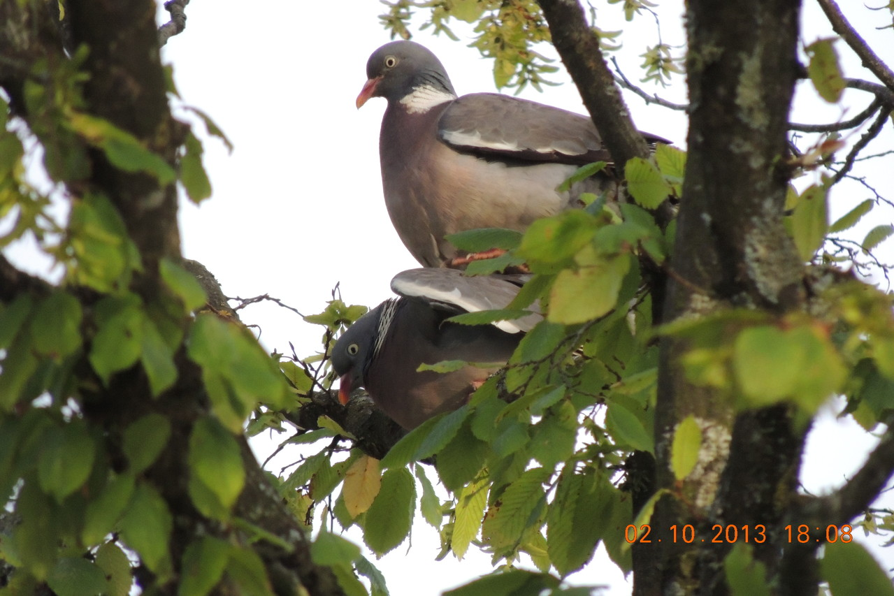 Accouplement Pigeons ramiers
