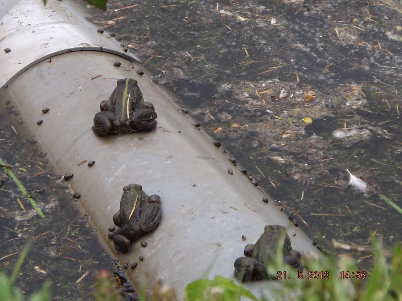 Trois grenouilles !!!!!!