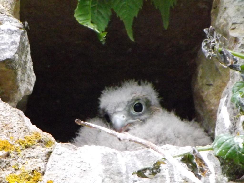 Jeune Faucon crécerelle au nid