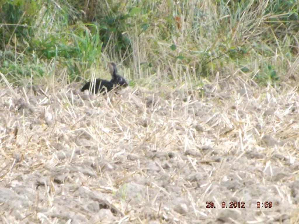 Lapin noir, curieux ?