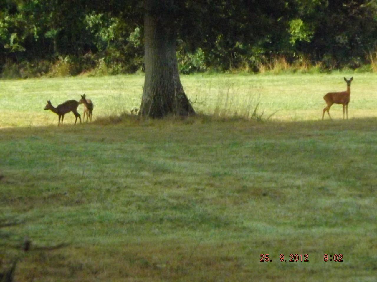 Une Chèvre et deux jeunes