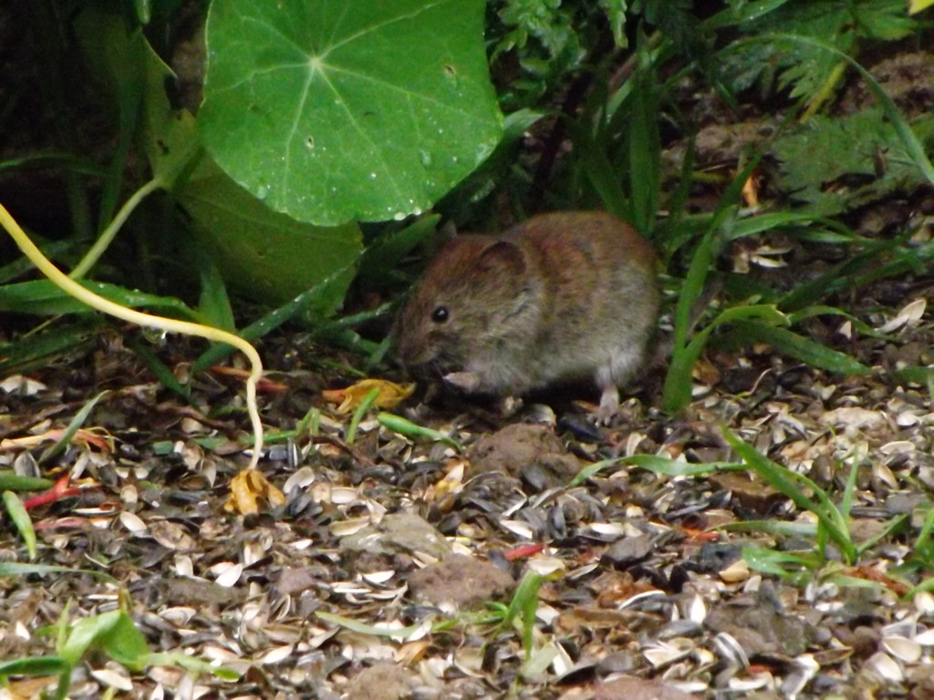 Mignonne petite souris