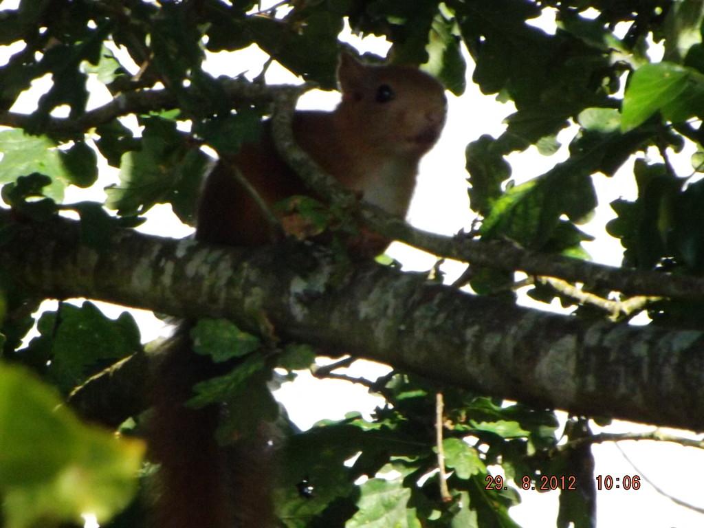 Jeune écureuil