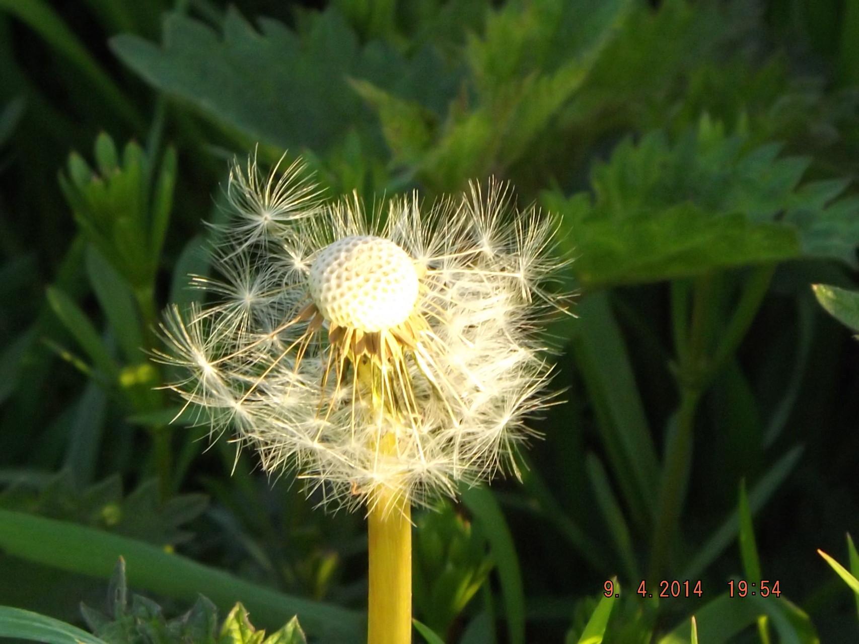 Un coup de vent...... et la semence va se faire !!!!!