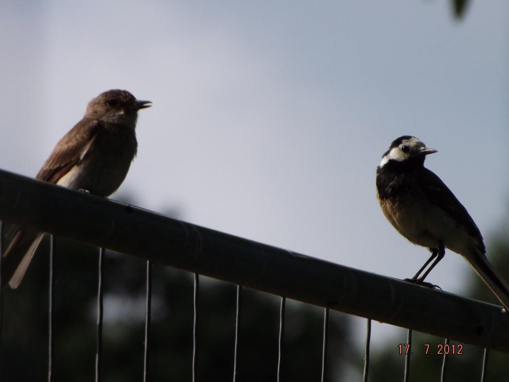Dialogue entre gobe mouche gris et bergeronnette grise
