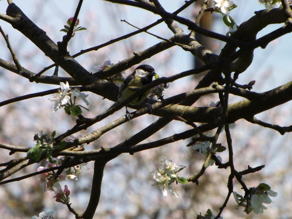 Mésange  charbonnière à l'approche du nid